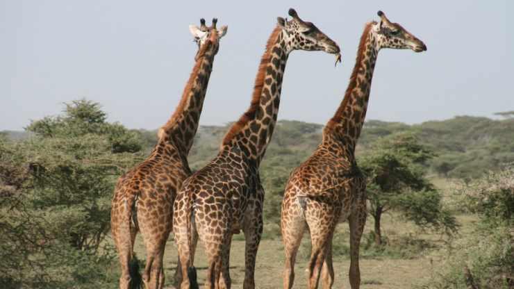 Giraffe (foto Pixabay)