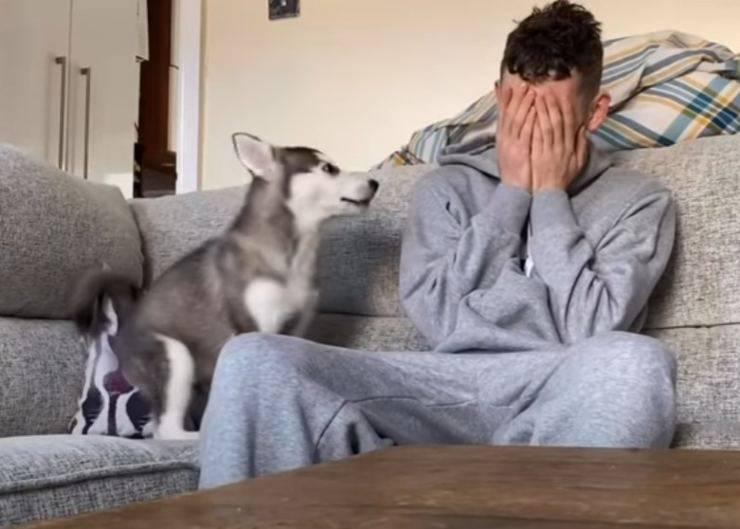 cucciolo husky consola proprietario