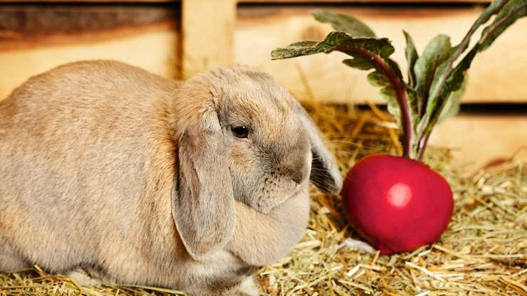 i conigli possono mangiare le barbabietole