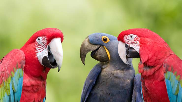 pappagalli ridono