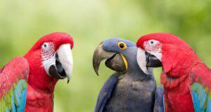 i pappagalli ridono