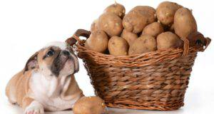 il cane può mangiare le patate
