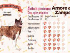 infografica cane AKITA AMERICANO new