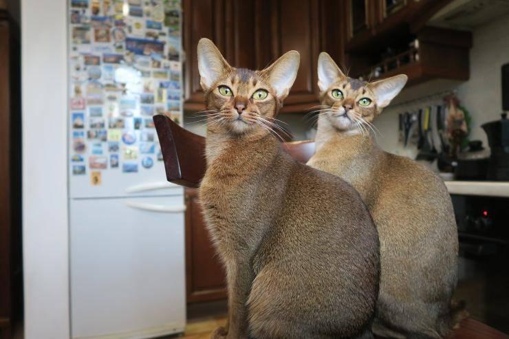 Razze di gatti che miagolano meno