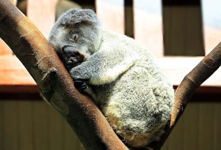 Koala che dorme