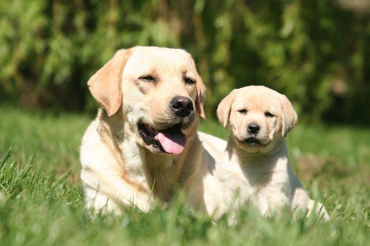 labrador e cucciolo