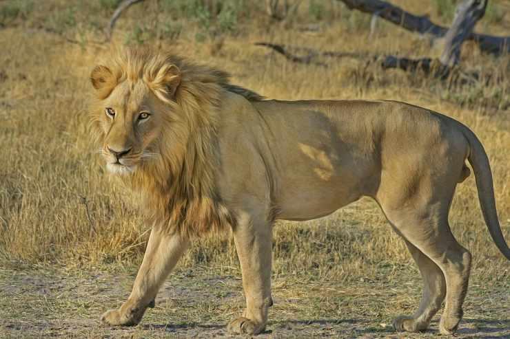 Il leone nella natura (foto Pixabay)