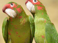 macchie rosse sulle piume del pappagallo