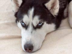malattie comuni del Siberian husky