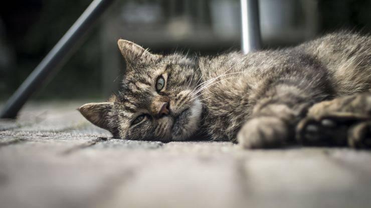 malattie comuni gatto anziano