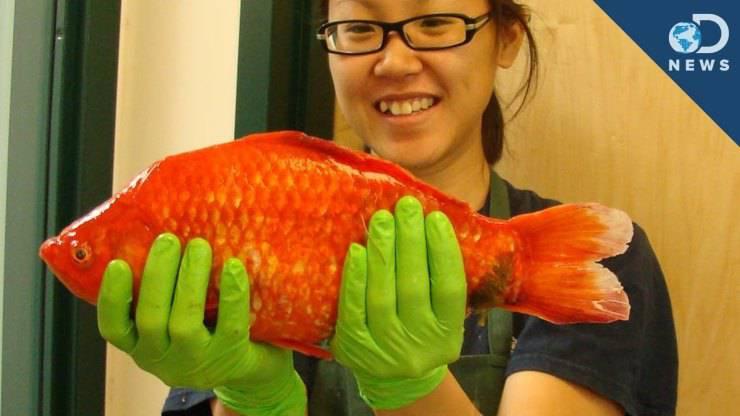 pesce rosso gigante del lago Tahoe