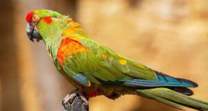 obesità nel pappagallo