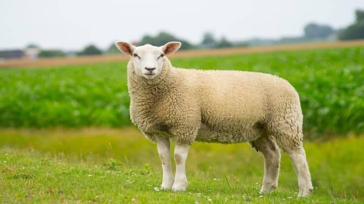 Pecora come animale domestico (Foto Adobe Stock)