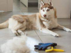 prendersi cura del pelo siberian husky