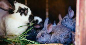 razze conigli più richieste