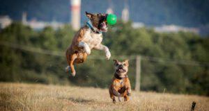razze di cani compatibili con il pitbull
