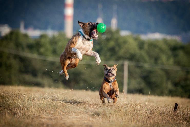 razze di cani che vanno d'accordo con il pitbull
