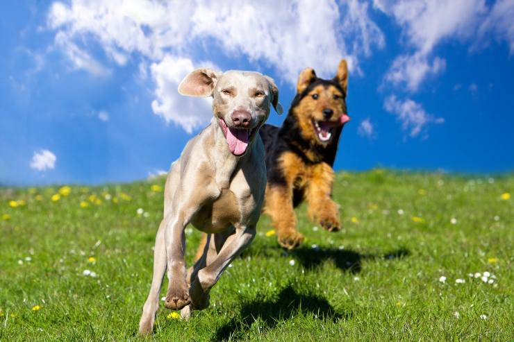 razze di cani meno ubbidienti