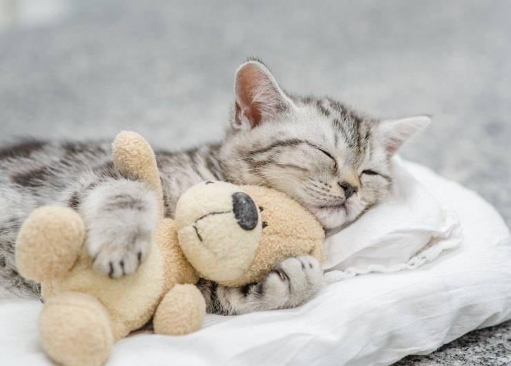 gatti a cui piace dormire