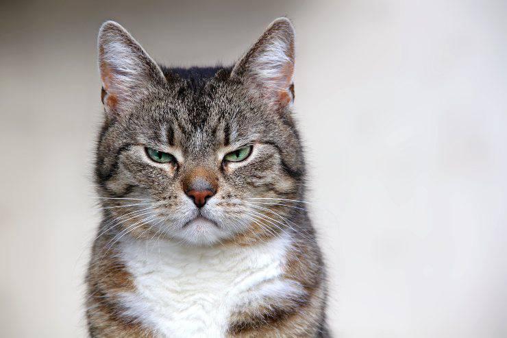 razze di gatti che si mostrano meno affettuosi