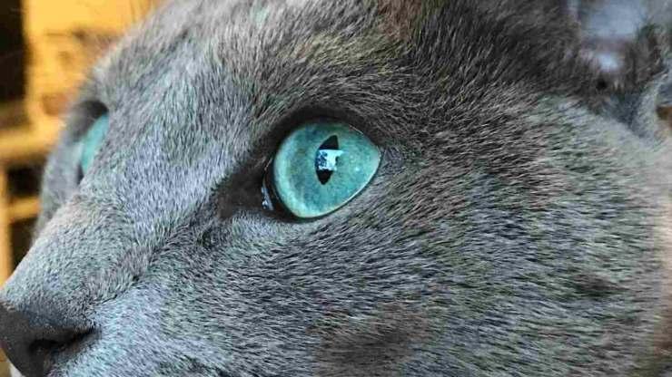 blu di russia gatto razze silenziosi miagolano poco