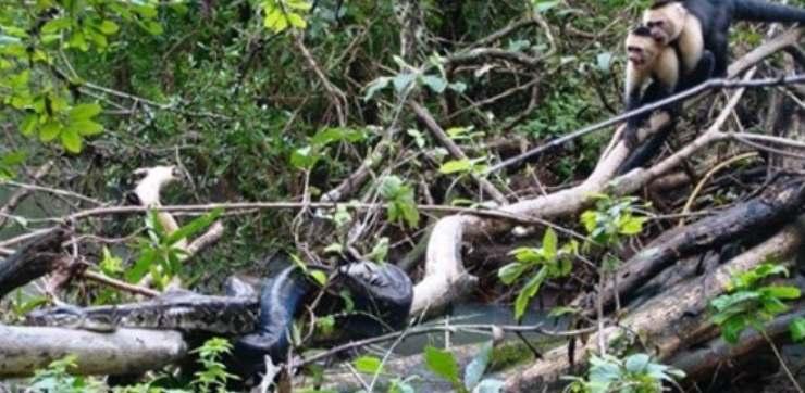 scimmi salvata da serpente