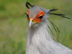 serpentario uccello animali metodi caccia bizzarri