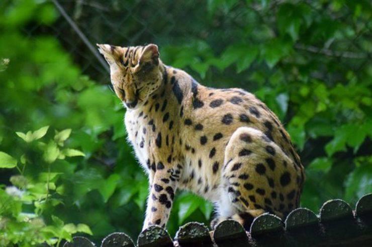 gatto serval felino selvatico