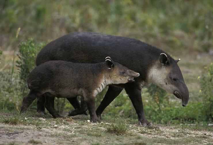 tapiro e cucciolo