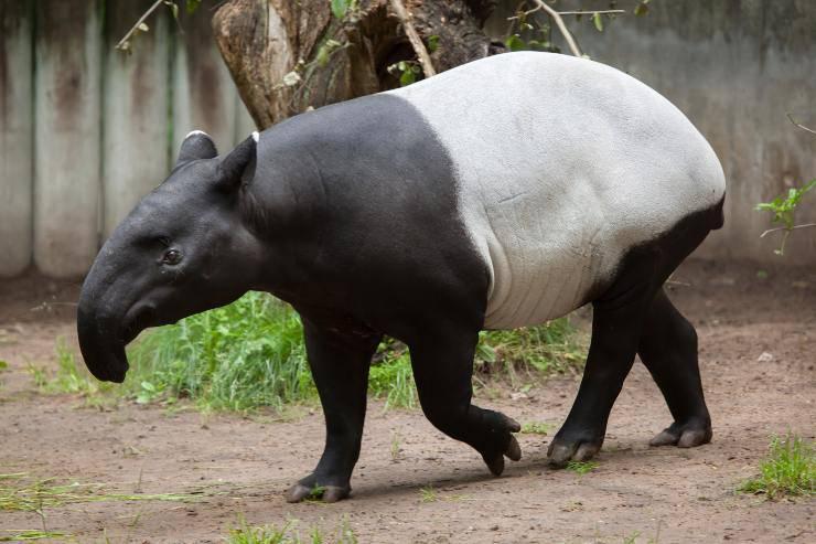 habitat tapiro
