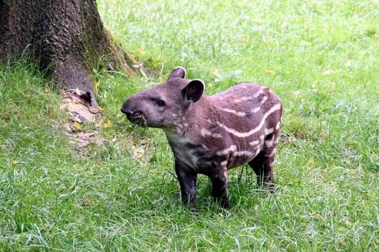 tapiro che mangia