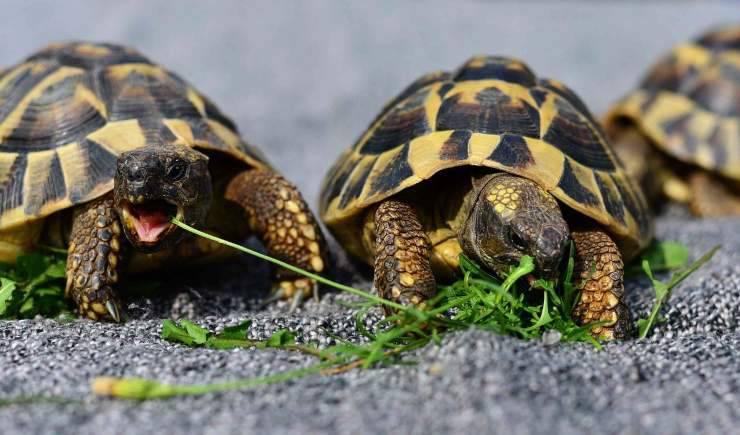 Tartarughe che mangiano