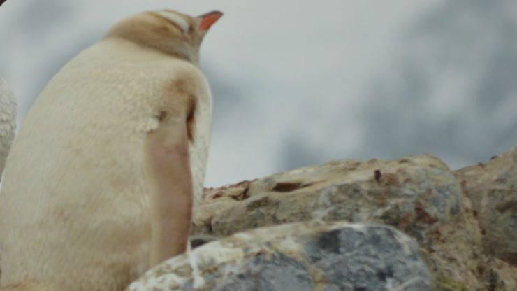 Il pinguino particolare (Foto Pixabay)