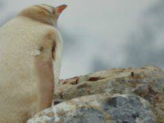 Pinguino bianco incuriosito (Foto Pixabay)