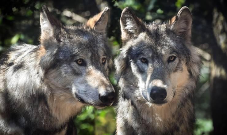 Cani simili a lupi