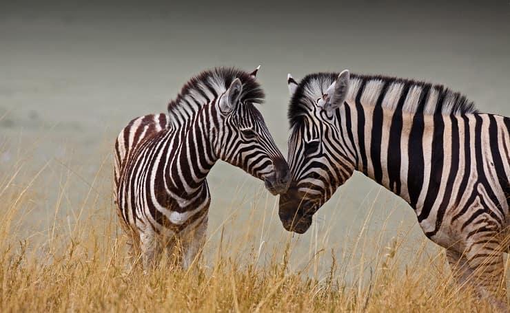 zebra mamma figlio giornata della gentilezza
