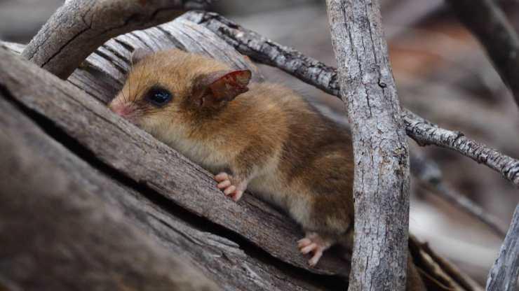 Un piccolo opossum (Foto facebook)