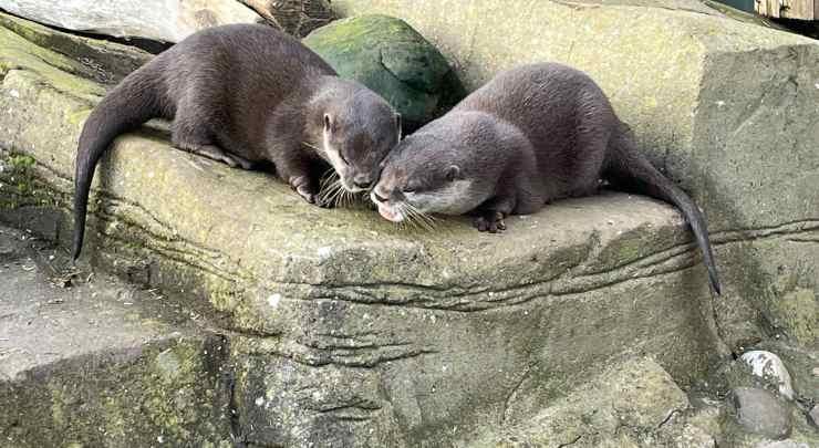 Le lontre innamorate (Foto Facebook)