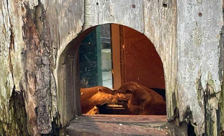 Il bacio delle lontre (Foto Facebook)