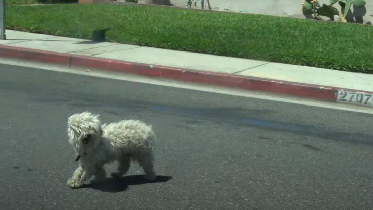 cane smarrito inseguire cagnolina calore
