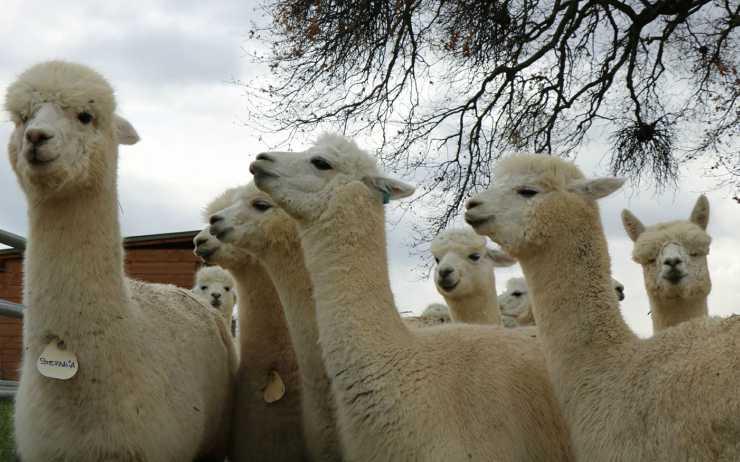 Un gruppo di alpaca (Foto Facebook)