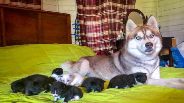 Husky con i cuccioli di gatto (Foto Instagram)