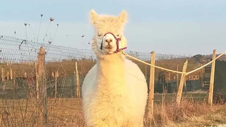 Un'alpaca della fattoria (Foto Facebook)