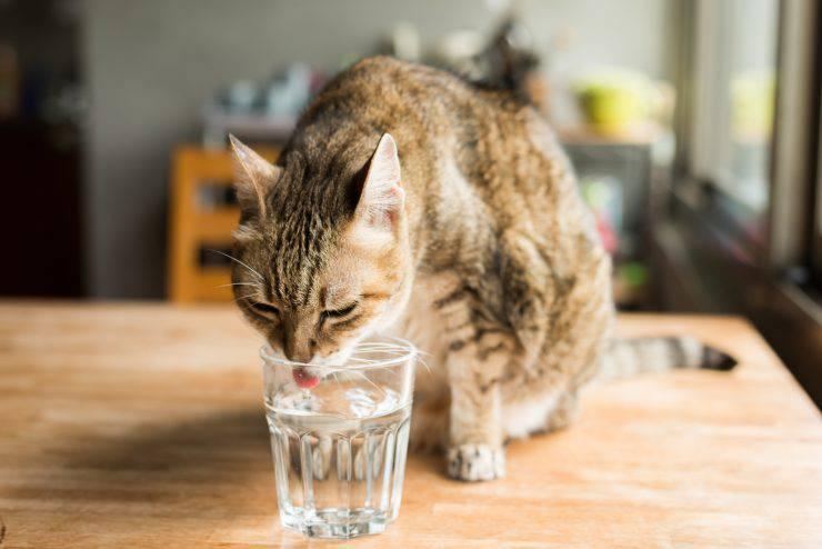 Bevande gassate al gatto