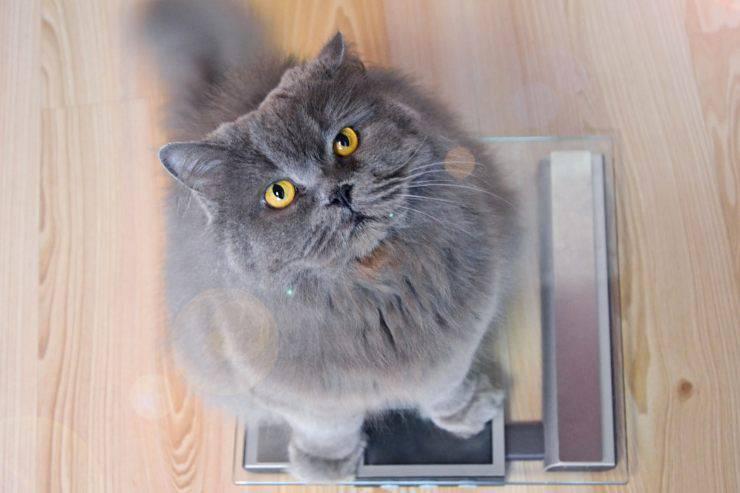 Razze di gatti che tendono ad ingrassare