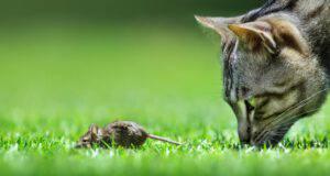 Gatto domestico ed estinzione delle specie selvatiche