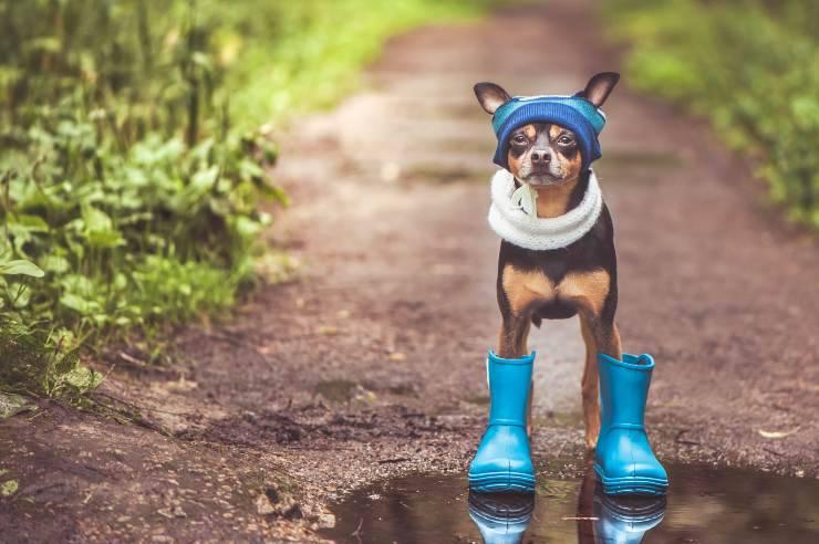 Cane con abbigliamento per la pioggia