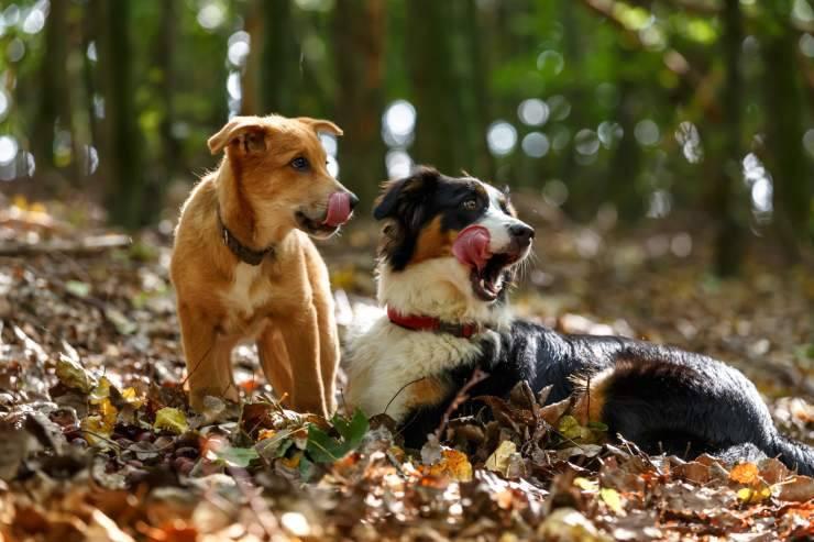 Perché i cani si leccano il muso tra loro