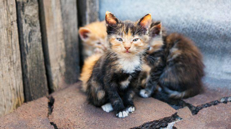 gatti macchie strisce mantello pelo peli colori colore