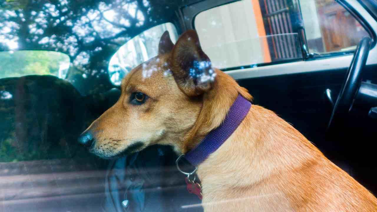 Il cane ha paura della macchina